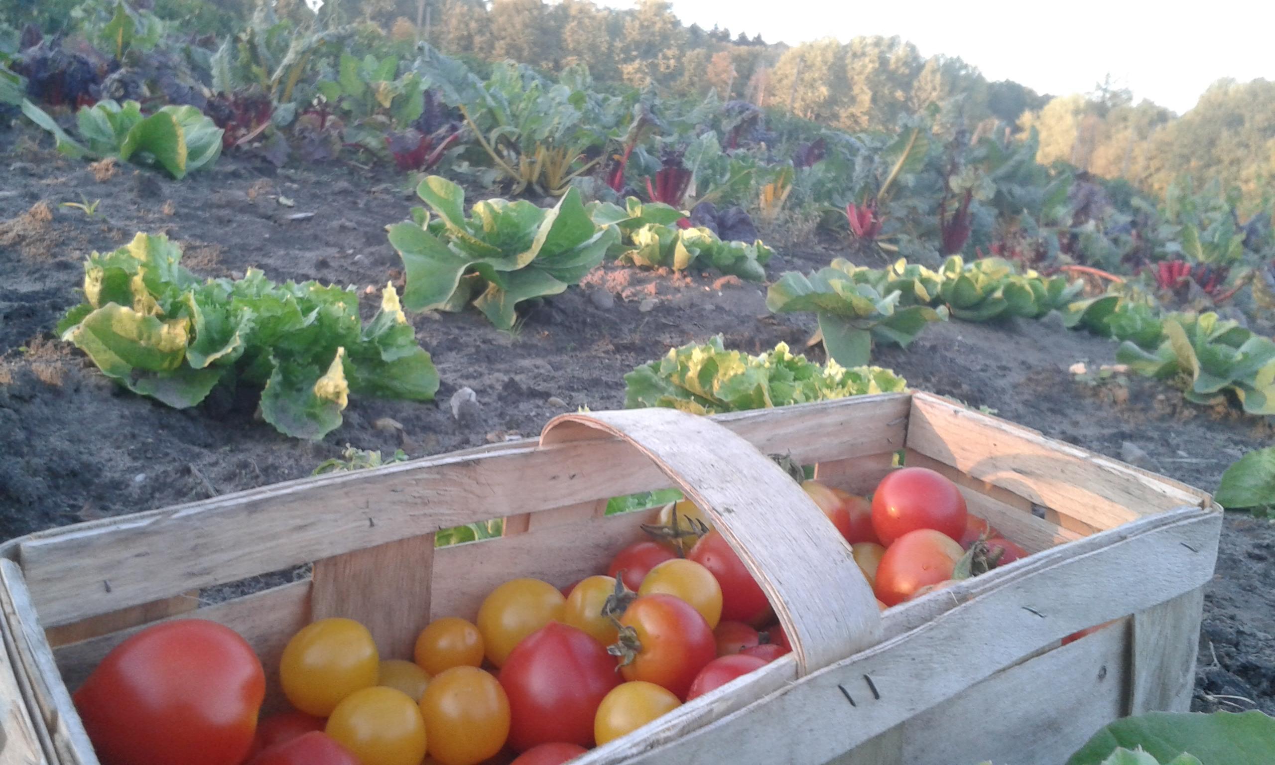 Solidarisches Gemüse: Geerntet wird immer das was gerade Saison hat. Foto: Solawi