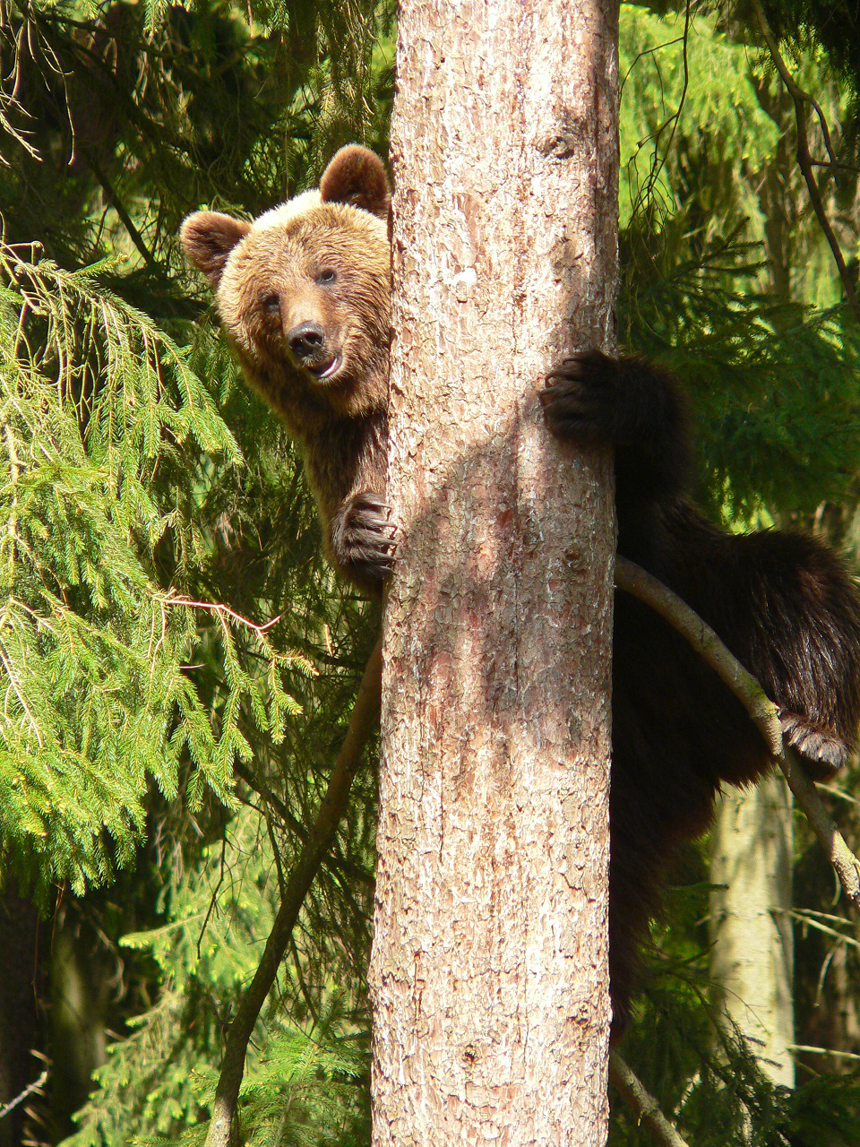 Wildpark_Schwarze_BergeBär_neugierig_auf_Baum