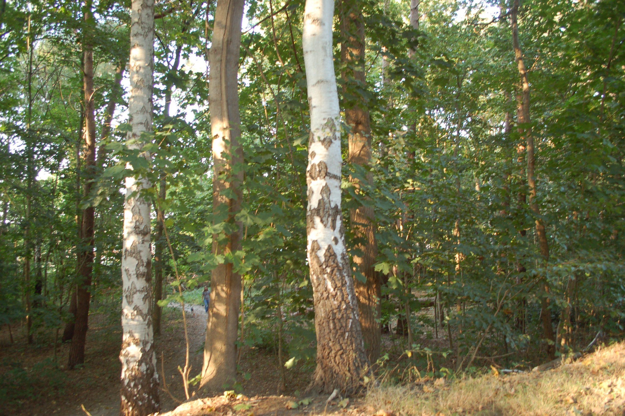 mk -Die Trockenheit der vergangenen Jahre führt aktuell zu plötzlichen Grünastabbrüchen an Bäumen